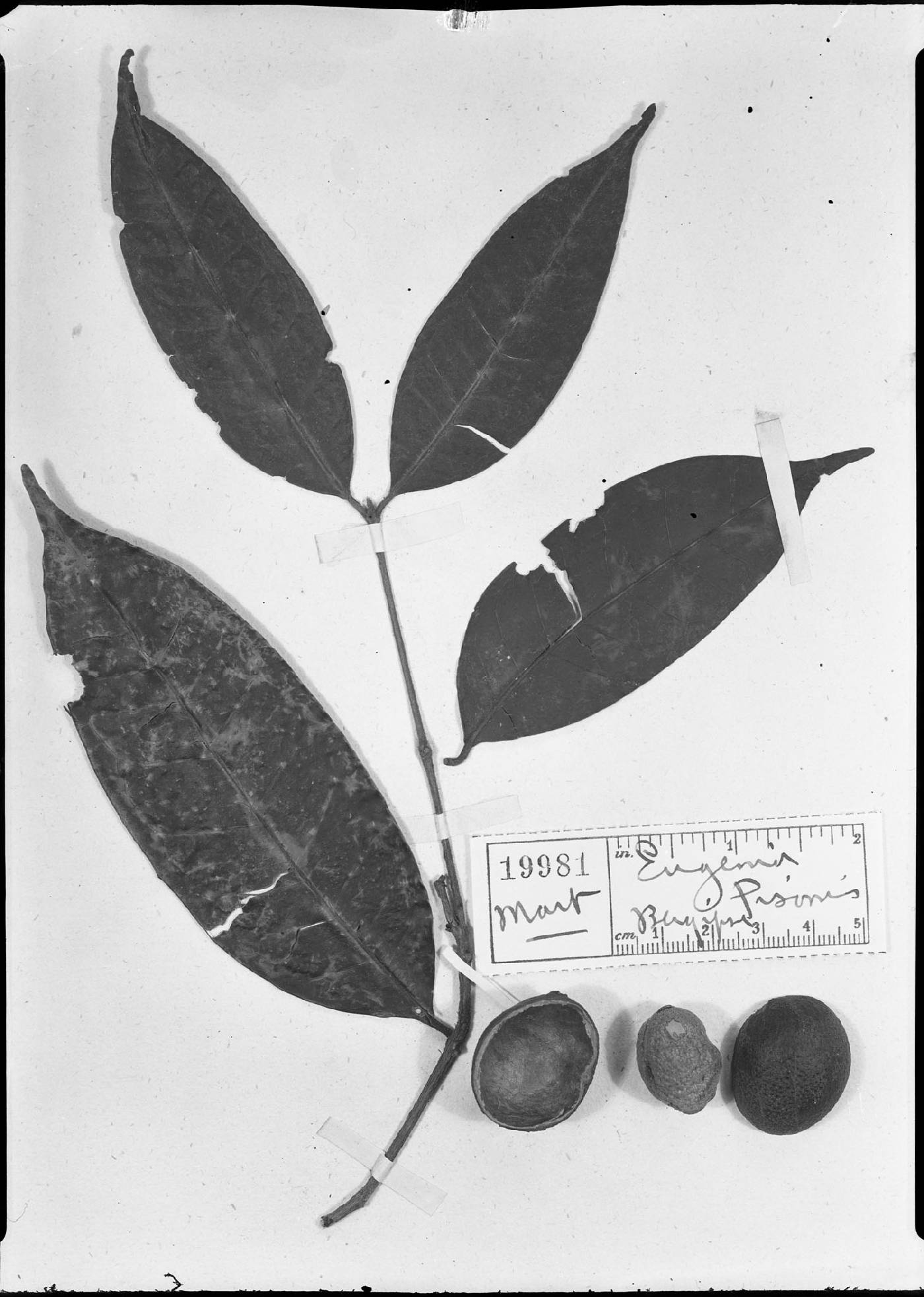 Eugenia moschata image