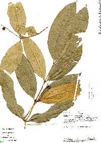 Image of Calyptranthes densiflora
