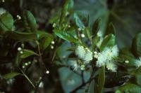 Myrcianthes fragrans image