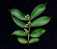 Eugenia coloradoensis image