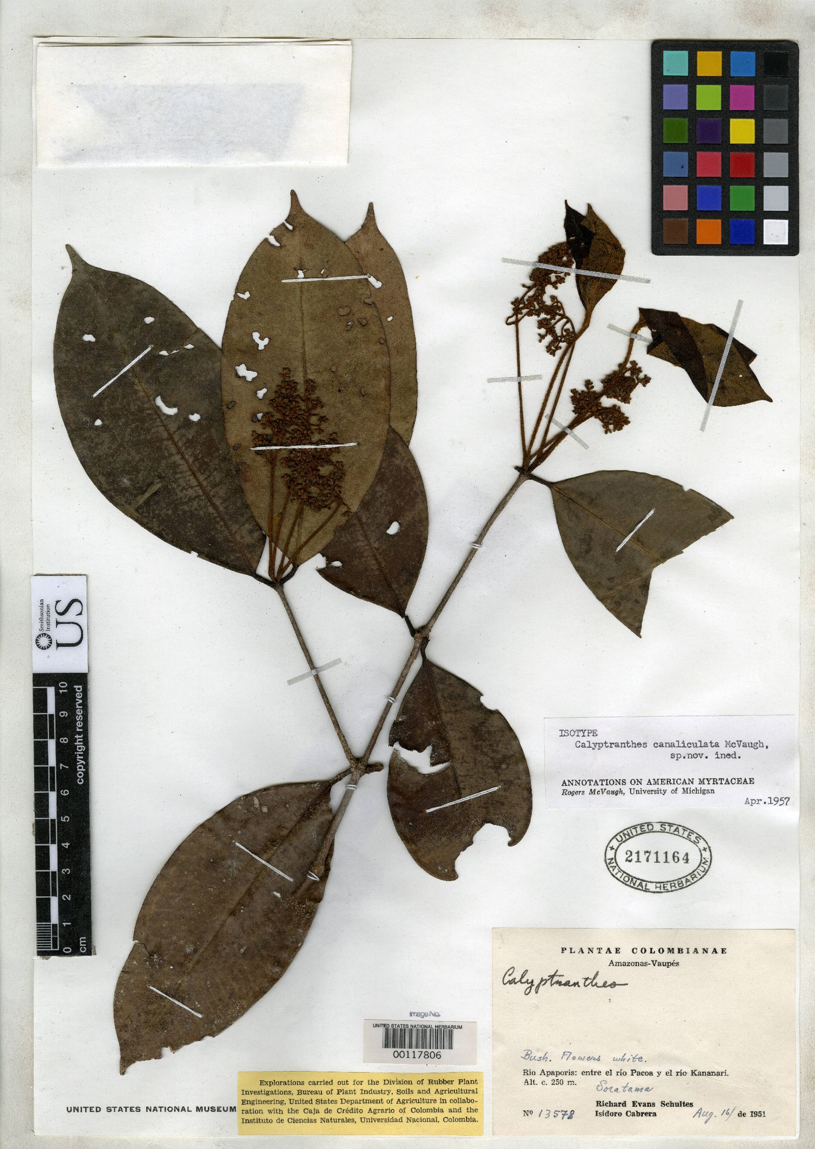Calyptranthes canaliculata image