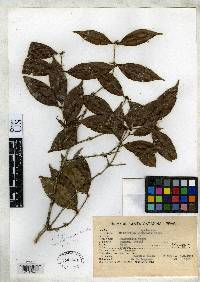 Neomitranthes glomerata image